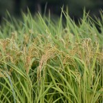 Almost harvest time - A rice paddy of a little village of Hakusan, Fukui prefecture